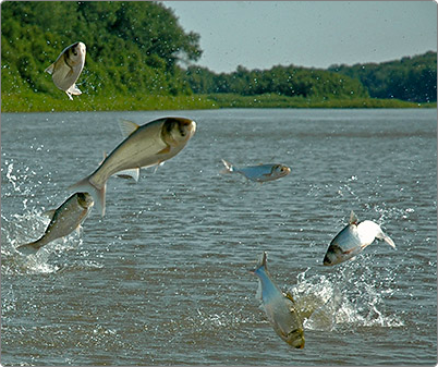 By making Fogroff out of Asian Carp, we are helping the environment.